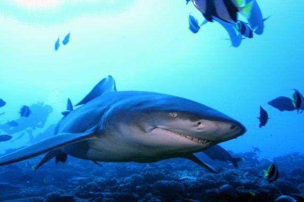 Requin Citron Moorea