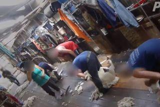 moutons battus australie