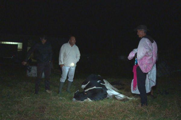 Vache morte Plaine des Cafres élevage DAAF