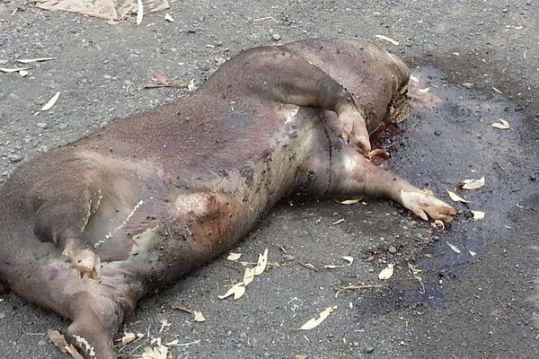 Cochon mort déchèterie