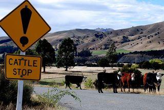 Nouvelle-Zélande bétail