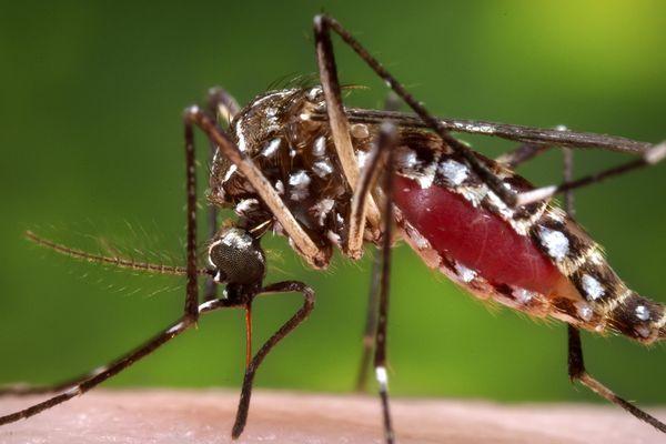 Les moustiques, vecteurs de la maladie