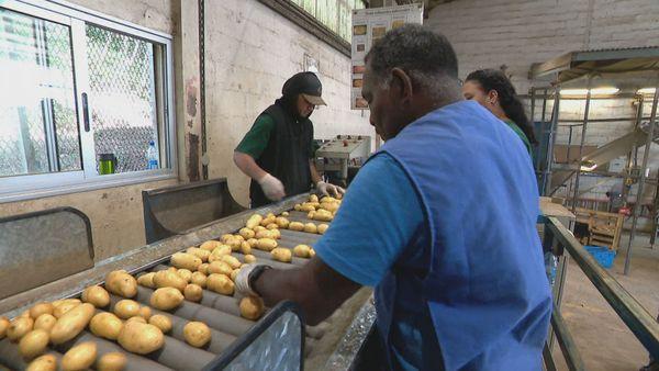 récolte pomme de terre octobre 2020 6