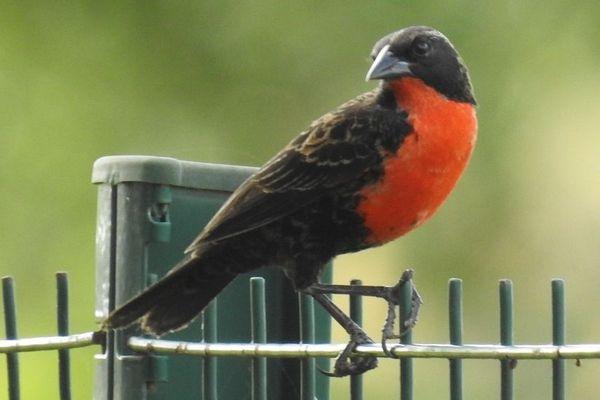 Oiseau rouge gorge