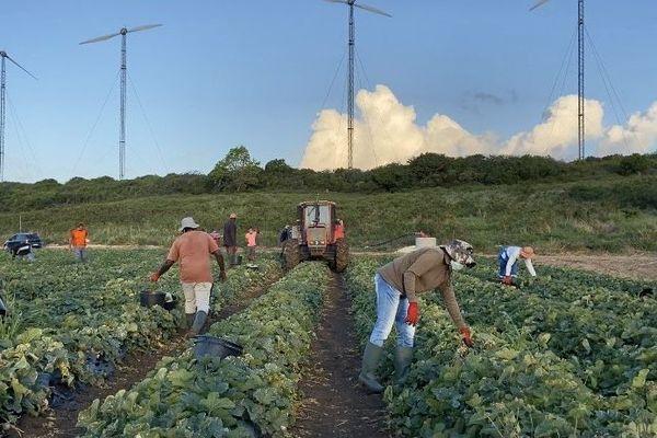 Cueillette des melons