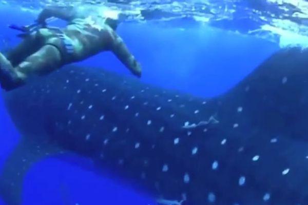 requin baleine surprend plongeur