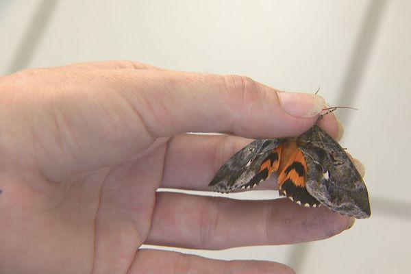 Papillon piqueur, agrumes