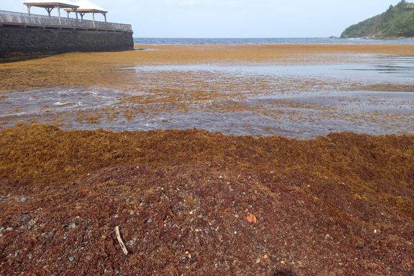 Algues sargasses au Marigot