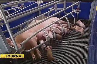 Le ras-le-bol des éleveurs porcins du fenua