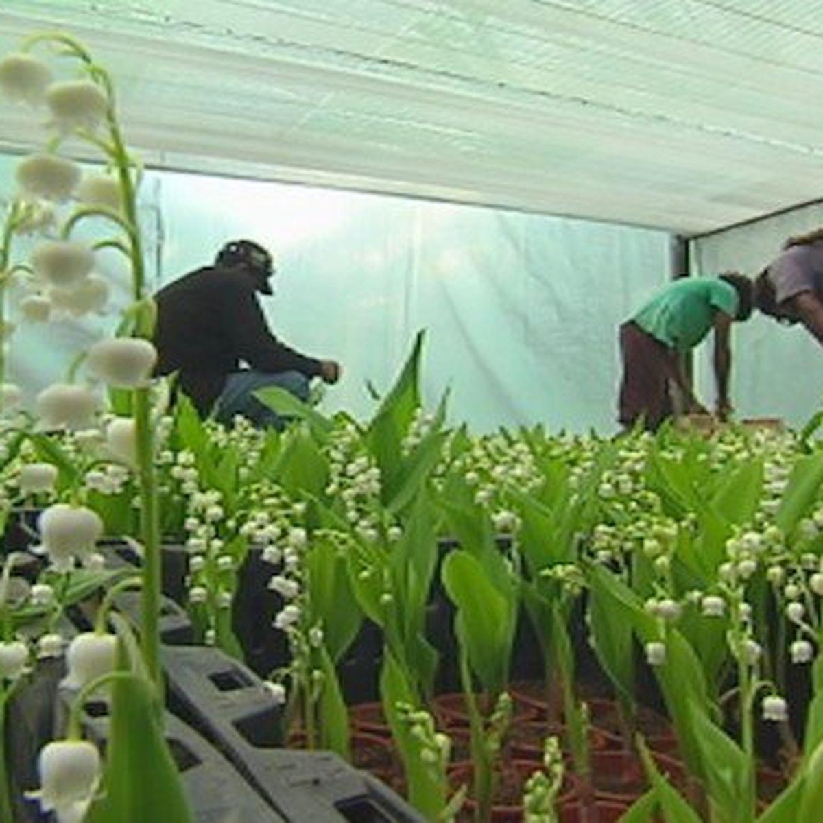 Comment Planter Du Muguet le muguet calédonien prêt pour le 1er mai - nouvelle