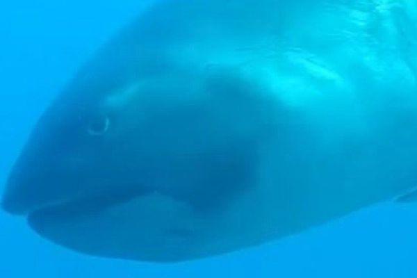 Le requin grande-gueule, une espèce rare filmée par une plongeuse en Indonésie
