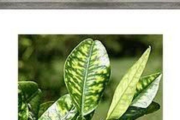 Citrus-greening 1