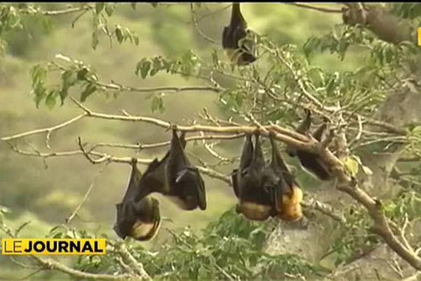 Un virus potentiellement mortel détecté chez des chauves-souris en Calédonie