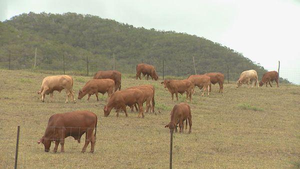 La Foa bétail