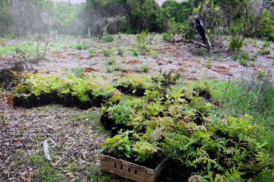 Pour 2020, le Conservatoire du littoral poursuit sa mission de reconquête des forêts littorales patrimoniales mahoraises - Mayotte la 1ère