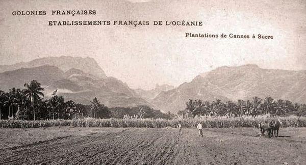 canne à sucre plaine côtière de Pirae vers 1900