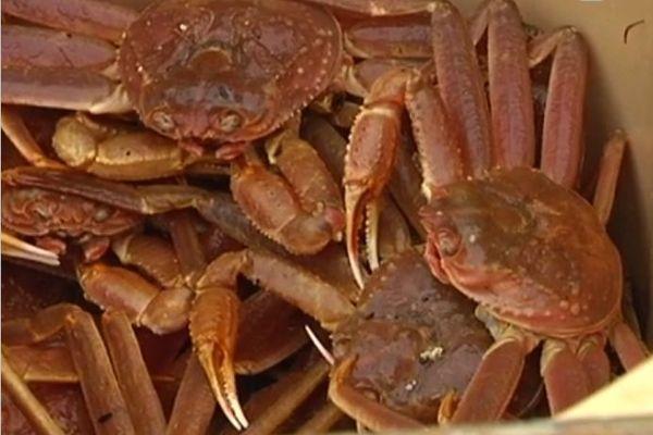 crabe des neiges pêche Saint-Pierre Canada