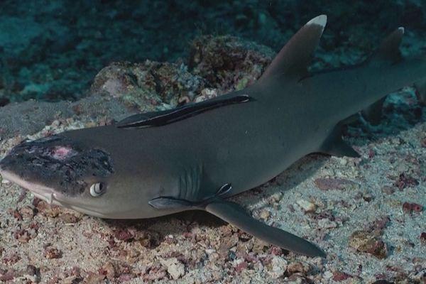 requins pointe blanche maladie