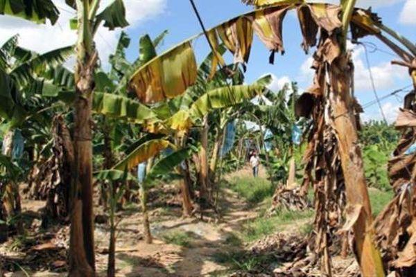La fusariose du bananier