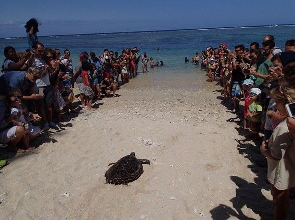 tortue relachée avec sirène kelonia 220918