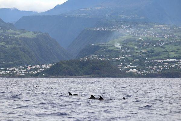 Globice Réunion mammifères marins au large des côtes réunionnaises
