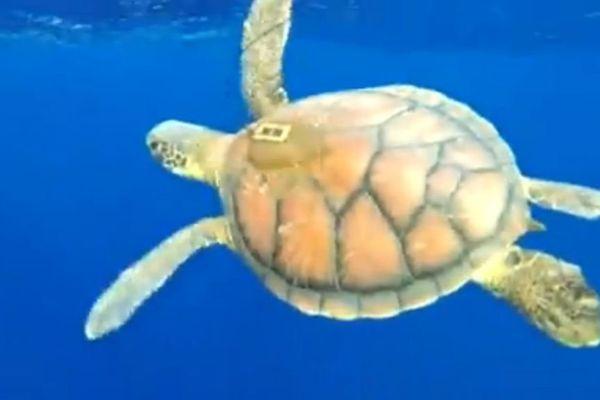 Lacher de tortues vertes
