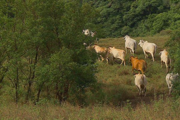 Attaque de bétail
