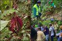 Miconia calvescens, une plante envahissante qui menace les forêts humides de Martinique