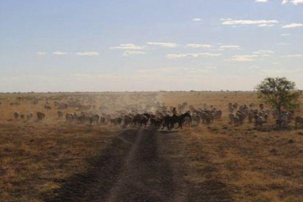 Rassemblement de bétail dans le Territoire du nord australien