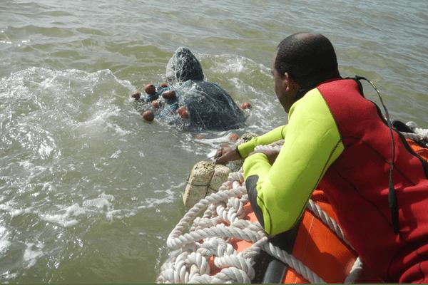 Sauvetage d'une tortue luth prise dans un filet