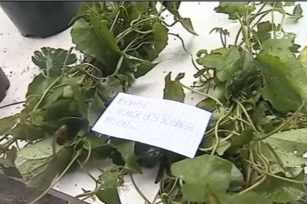 plante médicinale guyanaise