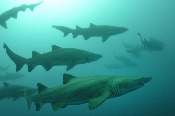 Requins tigre