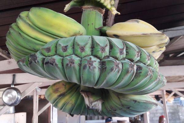 Bananes Musa Benedetta