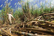 Récolte de la canne à sucre aux Antilles.