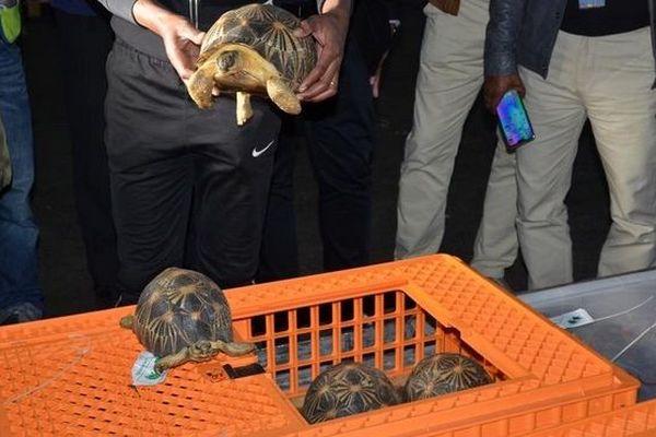 Le retour des tortues radiatas