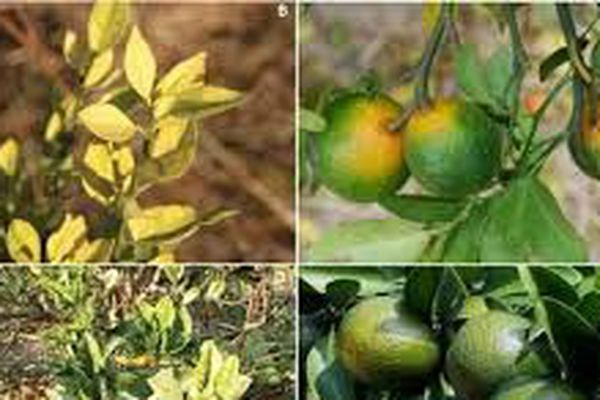 Citrus-greening 2