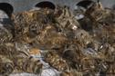 Tubuai : tuer les abeilles pour éradiquer la loque américaine