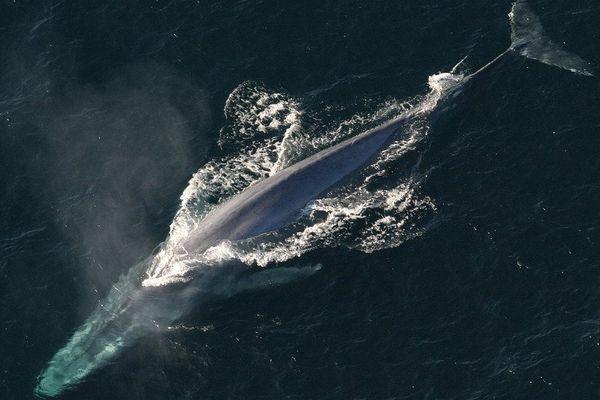 Les baleines bleues sont droitières…en général.