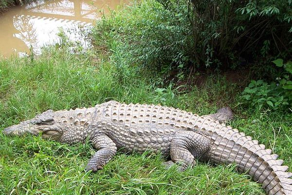 Crocodiles Madagascar