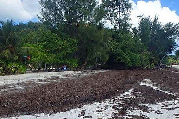 Algues sur les plages des Seychelles