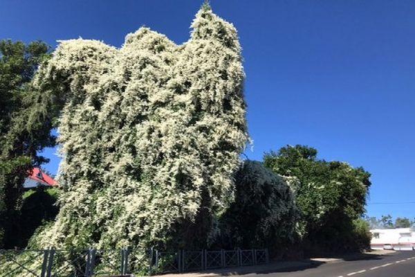 Fleurs blanches sur un arbre à villèle
