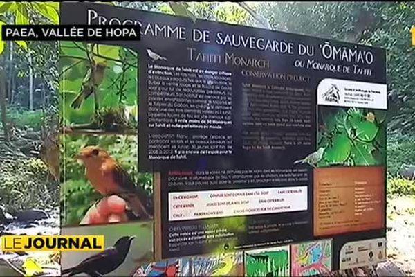 La lutte contre le miconia pour préserver le monarque de Tahiti