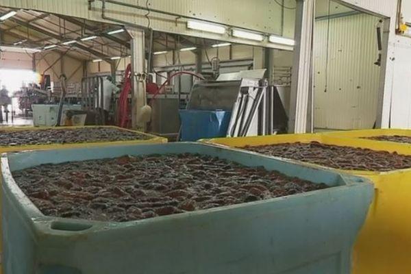 Une teneur en eau très élevée dans le concombre de mer cette saison