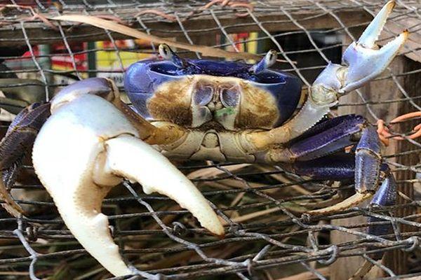 crabe de terre
