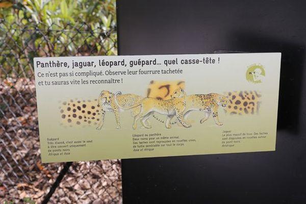 Le jaguar se cache