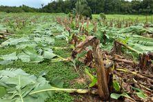 Bananes saccagées à Sarcelle/Blonzac, à Goyave - 01/09/2020