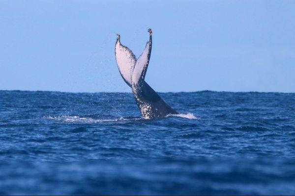 Les baleines se sont à nouveau données en spectacle, jeudi 6 août, au large de Saint-Gilles.