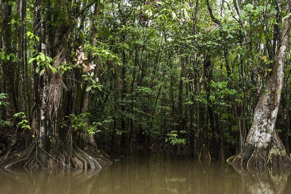 Mangrove sur le Maroni