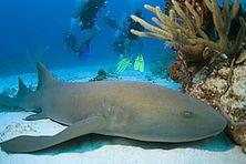 Requin nourrice en Guadeloupe