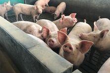 La peste porcine africaine entraîne jusqu'à 100% de mortalité